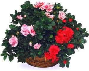 Азалия, цветок смерти