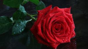 Нелюбимая. История Эльфики о прекрасной Розе